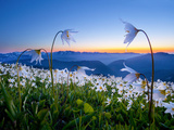 Avalanche Lilies (Erythronium Montanum) at Sunset, Olympic Nat'l Park, Washington, USA Fotografie-Druck von Gary Luhm