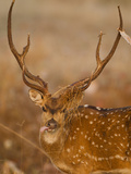Spotted Deer, Madhya Pradesh, Kanha National Park, India Photographic Print by Joe & Mary Ann McDonald