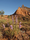 Gayfeather, Palo Duro Canyon State Park, Texas, USA Photographic Print by Larry Ditto