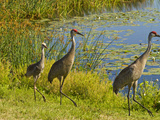 Sandhill Crane, Florida, USA Photographic Print by Cathy & Gordon Illg