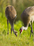 Sandhill Crane Feeding with Chick, Grus Canadensis, Viera Wetlands, Florida, USA Photographic Print by Maresa Pryor