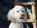 Portrait of a Goldendoodle Against a Southwestern Blanket and Wooden Ladder, New Mexico, USA Photographic Print by Zandria Muench Beraldo