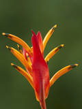 False Bird-Of-Paradise Flower (Heliconia Psittacorum), Nadi, Viti Levu, Fiji, South Pacific Lmina fotogrfica por David Wall