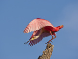 Roseate Spoonbill, Anastasia Island, Florida, USA Photographic Print by Cathy & Gordon Illg