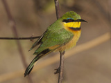 Bee Eater, Botswana Photographic Print by Jan & Stoney Edwards