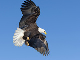 Mature Bald Eagle, Alaska, USA Photographic Print by Alice Garland