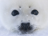 Harp Seal Pup on Ice, Iles De La Madeleine, Quebec, Canada Photographic Print by Keren Su