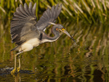 Tri-Colored Heron, Florida, USA Photographic Print by Cathy & Gordon Illg