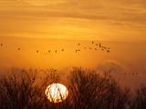 Sandhill Cranes Silhouetted Aginst Rising Sun, Leaving Platte River, Near Kearney, Nebraska, USA Stampa fotografica di Chuck Haney