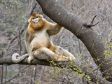 Golden Monkeys, Qinling Mountains, China Photographic Print by Alice Garland