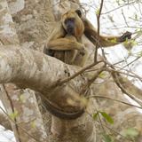 Black Howler Monkey, Mato Grosso, Pantanal, Brazil Photographic Print by Joe & Mary Ann McDonald