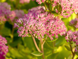 Sedum Spectabile in Flower, England Photographic Print by Paul Thompson