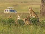 Cheetah (Acinonyx Jubatus) with Safari Jeep in the Grass, Maasai Mara National Reserve, Kenya Photographic Print by Keren Su