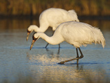 Whooping Crane, Aransas National Wildlife Refuge, Texas, USA Photographic Print by Larry Ditto