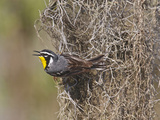 Yellow-Throated Warbler, Texas, USA Photographic Print by Larry Ditto