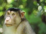 Southern Pig-Tailed Macaque, Sepilok, Borneo, Malaysia Photographic Print by Anthony Asael