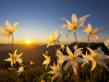 Avalanche Lilies (Erythronium Montanum) at Sunset, Olympic Nat'l Park, Washington, USA Reprodukcja zdjęcia autor Gary Luhm