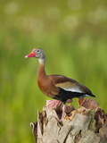 Black-Bellied Whistling Duck on Cabbage Palm, Dendrocygna Autumnalis, Viera Wetlands, Florida, USA Photographic Print by Maresa Pryor