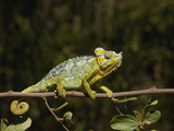 Chameleon, Nakuru, Kenya Photographic Print by Jan & Stoney Edwards