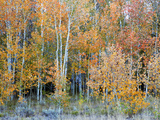 Aspens, Sawtooth National Recreation Area, Idaho, USA Photographic Print by Jamie & Judy Wild