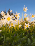Avalanche Lilies (Erythronium Montanum) at Sunset, Olympic Nat'l Park, Washington, USA Photographic Print by Gary Luhm