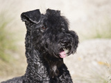 Portrait of a Kerry Blue Terrier Photographic Print by Zandria Muench Beraldo