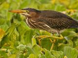 Green Heron, Florida, USA Photographic Print by Cathy & Gordon Illg