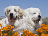 Two Great Pyrenees Lying in a Field of Wild Poppy Flowers in Antelope Valley, California, USA Fotografiskt tryck av Zandria Muench Beraldo