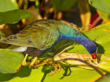 Purple Gallinule, Florida, USA Photographic Print by Cathy & Gordon Illg
