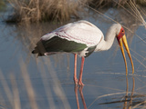 Yellow-Billed Stork, Kwara, Botswana Photographic Print by Jan & Stoney Edwards