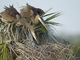 Great Blue Heron Chicks in Nest Looking for Bugs, Ardea Herodias, Viera Wetlands, Florida, USA Photographic Print by Maresa Pryor