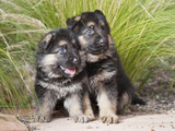 Two German Shepherd Puppies Sitting Together on Garden Pathway, New Mexico, USA Photographic Print by Zandria Muench Beraldo