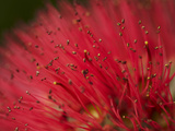 Pohutukawa Flower, Dunedin, South Island, New Zealand Photographic Print by David Wall