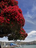 Pohutukawa Tree and Akaroa Harbour, Akaroa, Banks Peninsula, Canterbury, South Island, New Zealand Photographic Print by David Wall