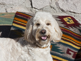 Portrait of a Goldendoodle Lying Against a Southwestern Blanket, New Mexico, USA Photographic Print by Zandria Muench Beraldo