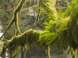 Ferns and Moss Growing on a Tree Limb, Silver Falls State Park, Oregon, USA Photographic Print by William Sutton