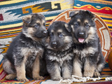 Three German Shepherd Puppies Sitting in a Row on Southwestern Blankets, New Mexico, USA Photographic Print by Zandria Muench Beraldo