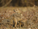 Jackal with Pups, Madhya Pradesh, Pench National Park, India Photographic Print by Joe & Mary Ann McDonald