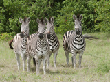 Zebras, Kwara, Botswana Photographic Print by Jan & Stoney Edwards