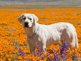 Yellow Labrador Retriever Standing in a Field of Poppies at Antelope Valley, California, USA Photographic Print by Zandria Muench Beraldo