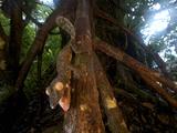 Giant Leaf-Tailed Gecko (Uroplatus Fimbriatus), Nosy Mangabe Reserve, Madagascar Photographic Print by Andres Morya Hinojosa