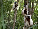 Coquerel's Sifakas, (Propithecus Coquereli), Madagascar Photographic Print by Andres Morya Hinojosa