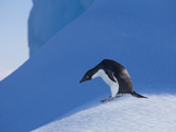 Adelie Penguin, Devil Island, Antartica, Antarctic Photographic Print by Hugh Rose