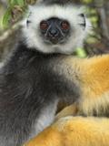 Diademed Sifaka (Propithecus Diadema), Adult, Andasibe-Mantadia National Park, Madagascar Photographic Print by Andres Morya Hinojosa