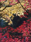Maple Trees, Portland Japanese Garden, Oregon, USA Fotoprint av William Sutton