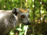 Crowned Lemur (Eulemur Coronatus), Ankarana National Park, Northern Madagascar Photographic Print by Andres Morya Hinojosa