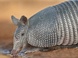 Nine-Banded Armadillo, Santa Clara Ranch, Texas, USA Photographic Print by Dave Welling