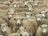Mob of Sheep, Catlins, South Otago, South Island, New Zealand Fotoprint van David Wall