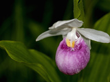 Showy Lady's Slipper, Itasca State Park, Minnesota, USA Photographic Print by Peter Hawkins