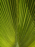 Palm Frond, Nadi, Viti Levu, Fiji, South Pacific Photographic Print by David Wall